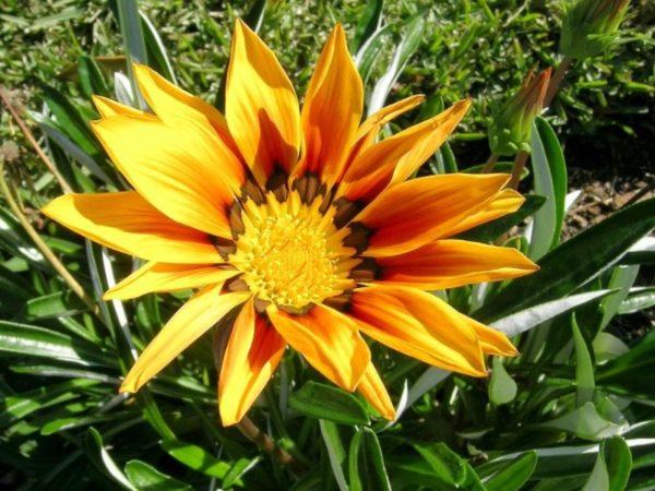 Гацания - секреты выращивания из семян