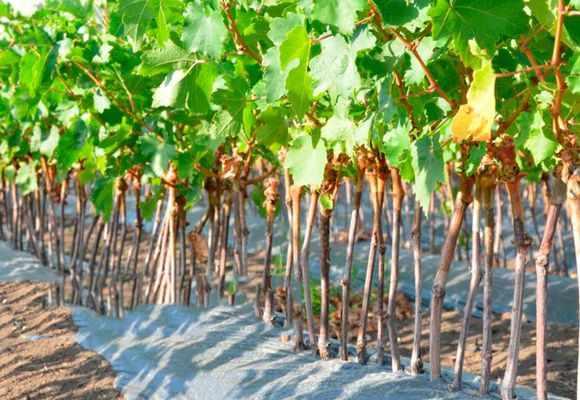 Как вырастить виноград из черенка в домашних условиях: поэтапная инструкция зимой и весной, как разводить