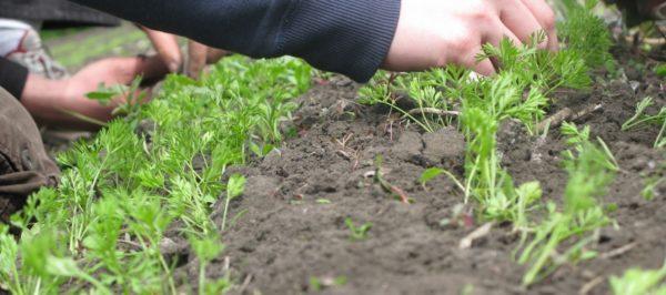 Советы как вырастить крупную и сладкую морковь