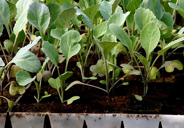 Цветная капуста посев выращивание рассады