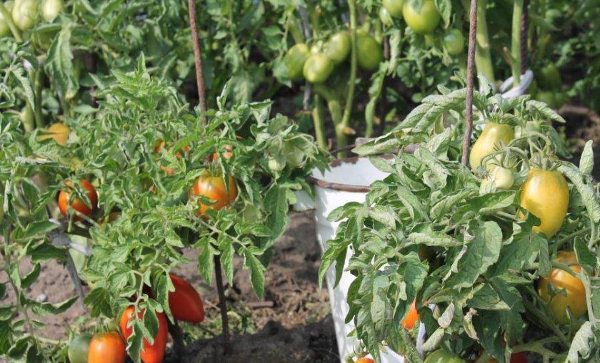 Сорта томатов для теплиц для Ленинградской области