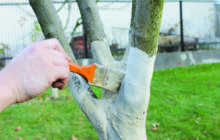 Когда и чем белить деревья