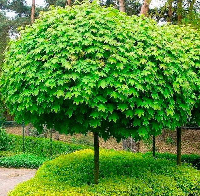 Какое дерево как и береза дает сладкий сок