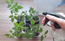 применение фитоспорина для рассады томатов