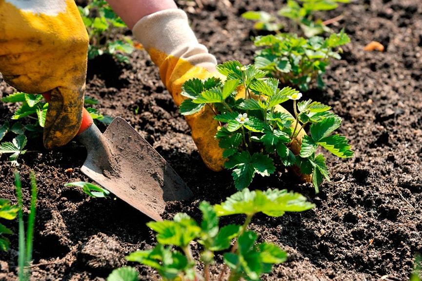 как садить клубнику весной