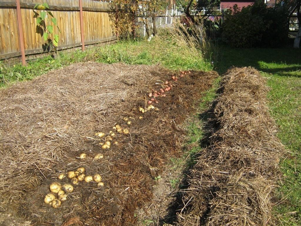 как выращивать картофель под шубой