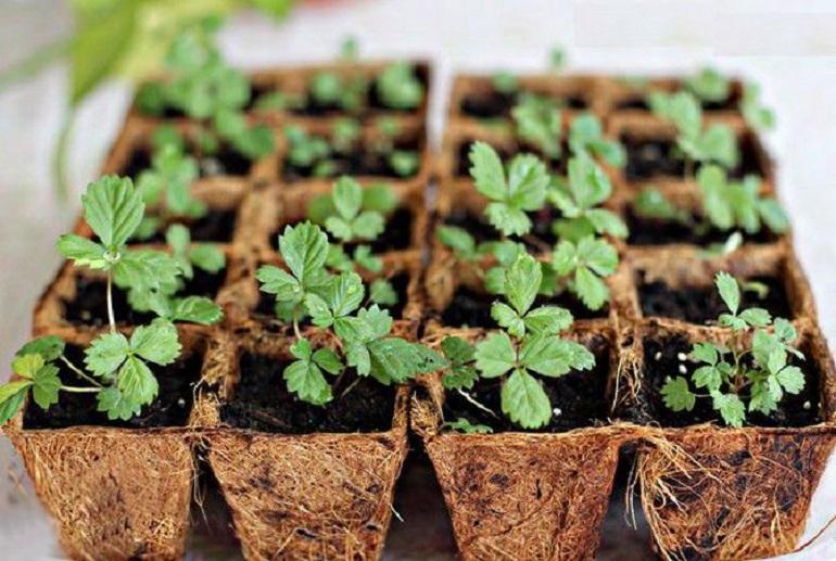 Клубника из семян Выращивание клубники из семян