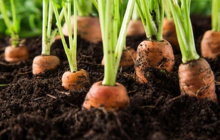 чем подкармливать морковь после всходов