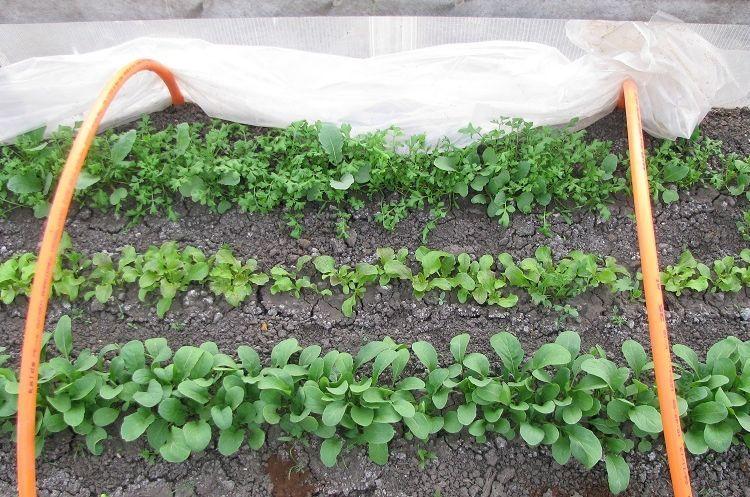 Когда можно сажать редиску в теплицу из поликарбоната в Подмосковье и других регионах, чтобы получить урожай в апреле