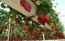 выращивание клубники разными способами