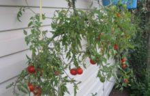 как выращивать помидоры вверх корнями