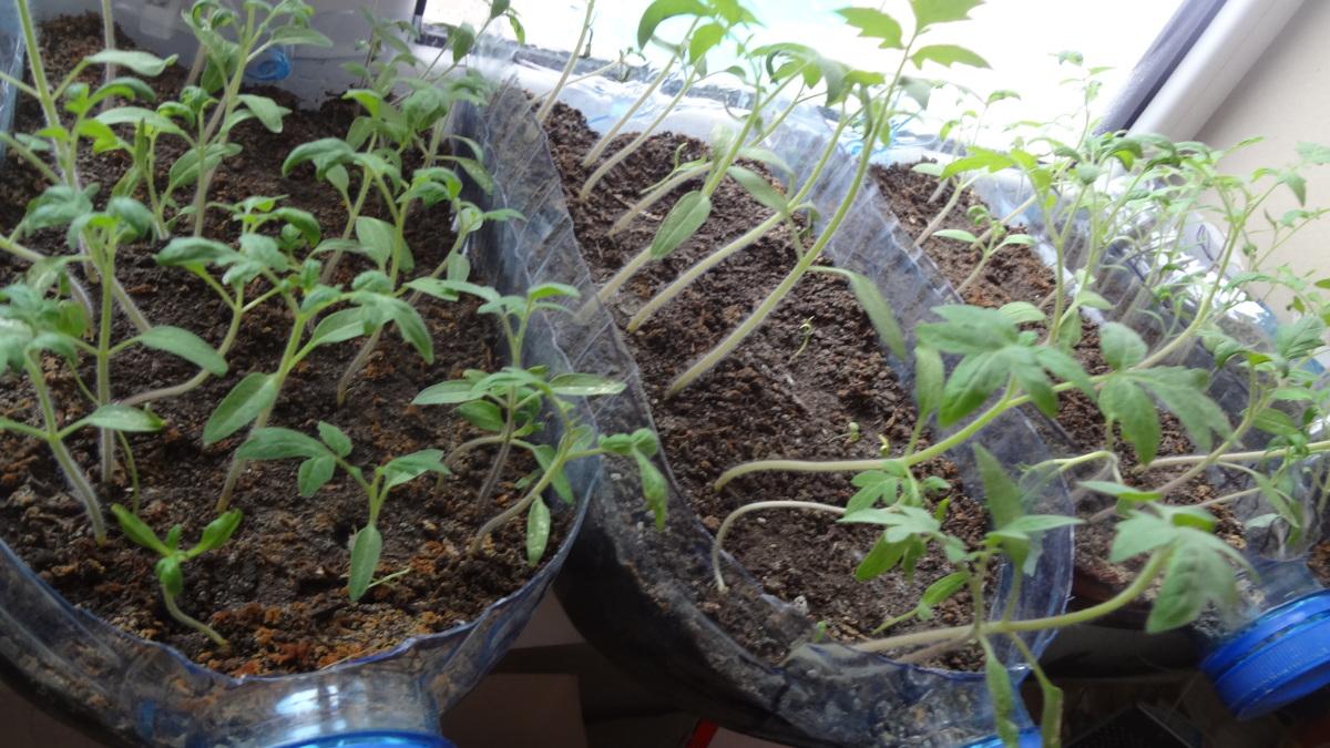 выращивание томатов в бутылках