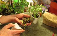 Выращивание томатов по китайской технологии