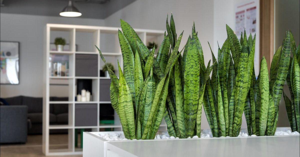 Цветок Тещин язык: уход и выращивание в домашних условиях
