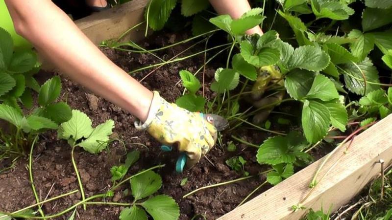 Обработка клубники весной от болезней и вредителей ранней весной