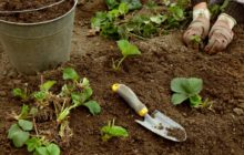 Как и когда пересаживать клубнику весной, в каком месяце, чтобы она плодоносила и был хороший урожай