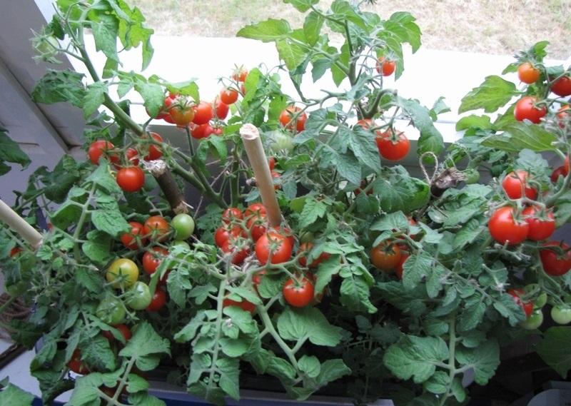 Как часто поливать рассаду помидоров после всходов и пикировки на подоконнике