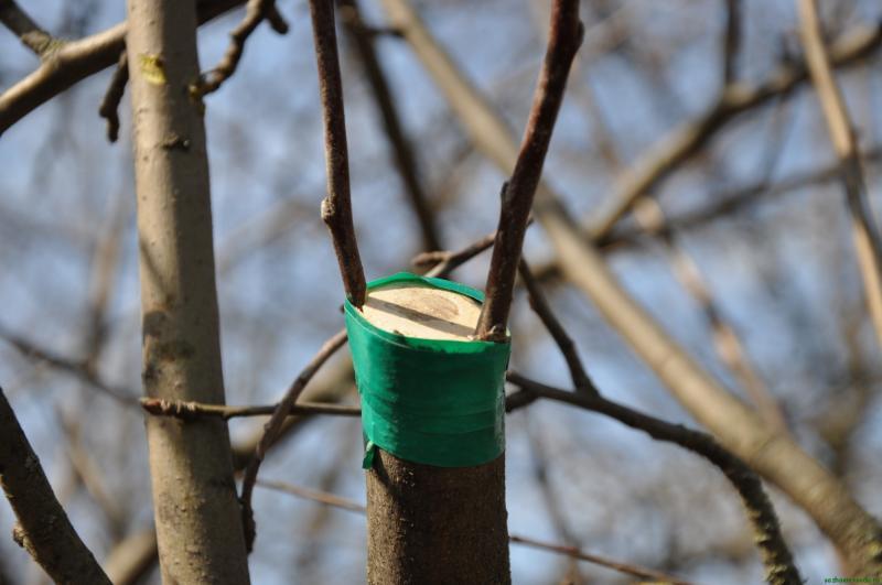 Прививка яблони весной для начинающих