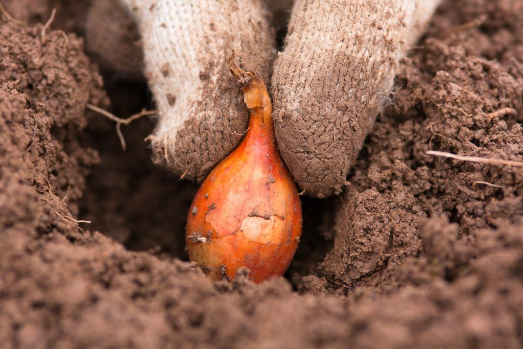 Когда и как сажать лук севок в открытый грунт весной на головку