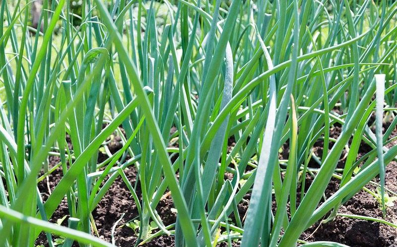 Секреты выращивания лука на репку из севка