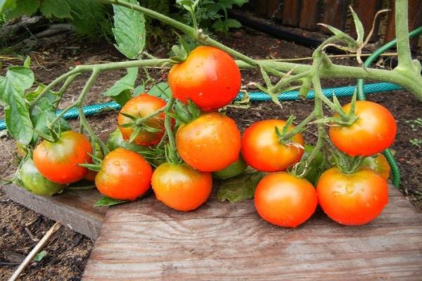 Виды помидоров с фото
