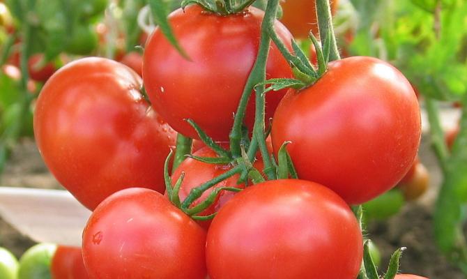 Лучшие сорта томатов с фото и описанием 60 сортов
