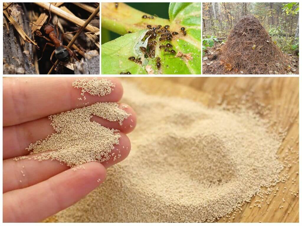 Как избавиться от муравьев домашних условиях быстро, за 1 день