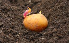 Уменьшить расход картофеля при посадке на 1 сотку
