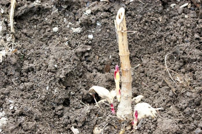 Когда можно высаживать георгины в открытый грунт весной в Подмосковье, Сибири, Белоруссии