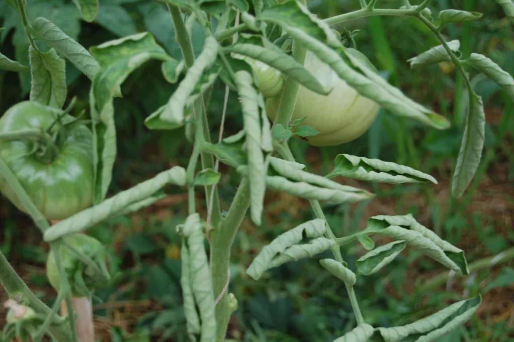 Почему скручиваются листья на помидорах в теплице, как с этим бороться
