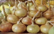 Как увеличить урожай лука в открытом грунте в несколько раз