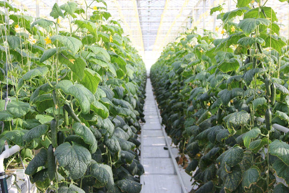 Как увеличить урожай огурцов в теплице и открытом грунте: супер способ