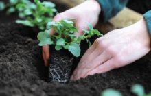 Как и когда высадить рассаду петунии в открытый грунт, сроки, при какой температуре можно высаживать