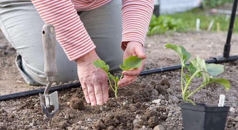 Когда можно высаживать рассаду капусты в открытый грунт в 2019 году в Подмосковье, Ленинградской области