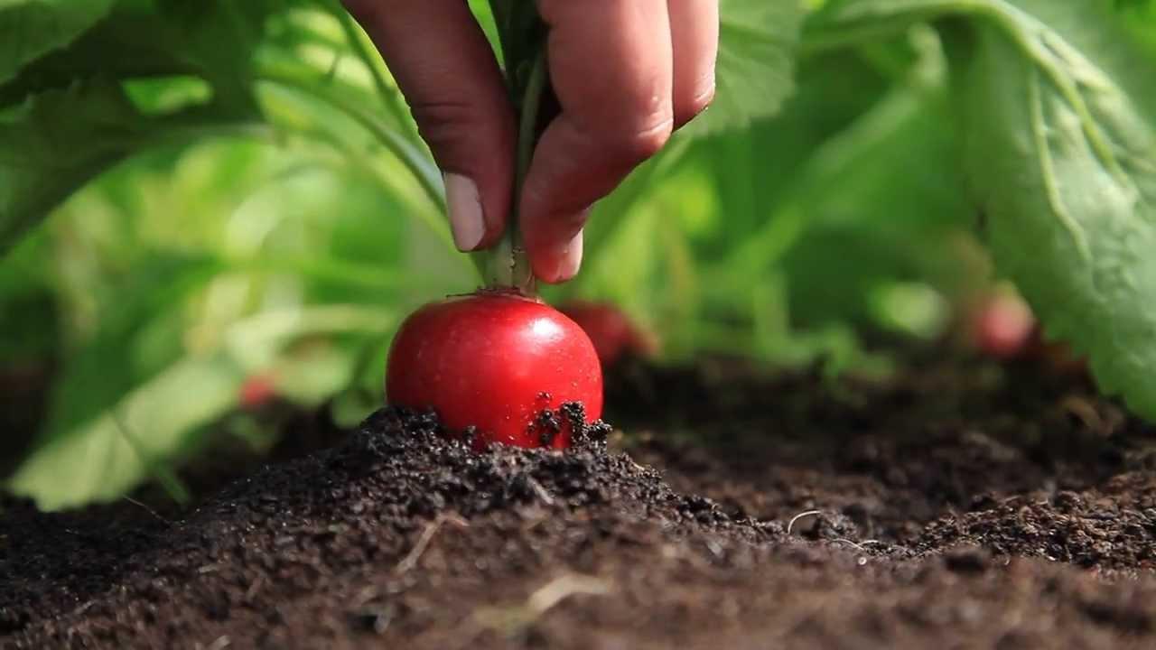 Какие культуры можно сажать за сезон два раза и получать больше урожая