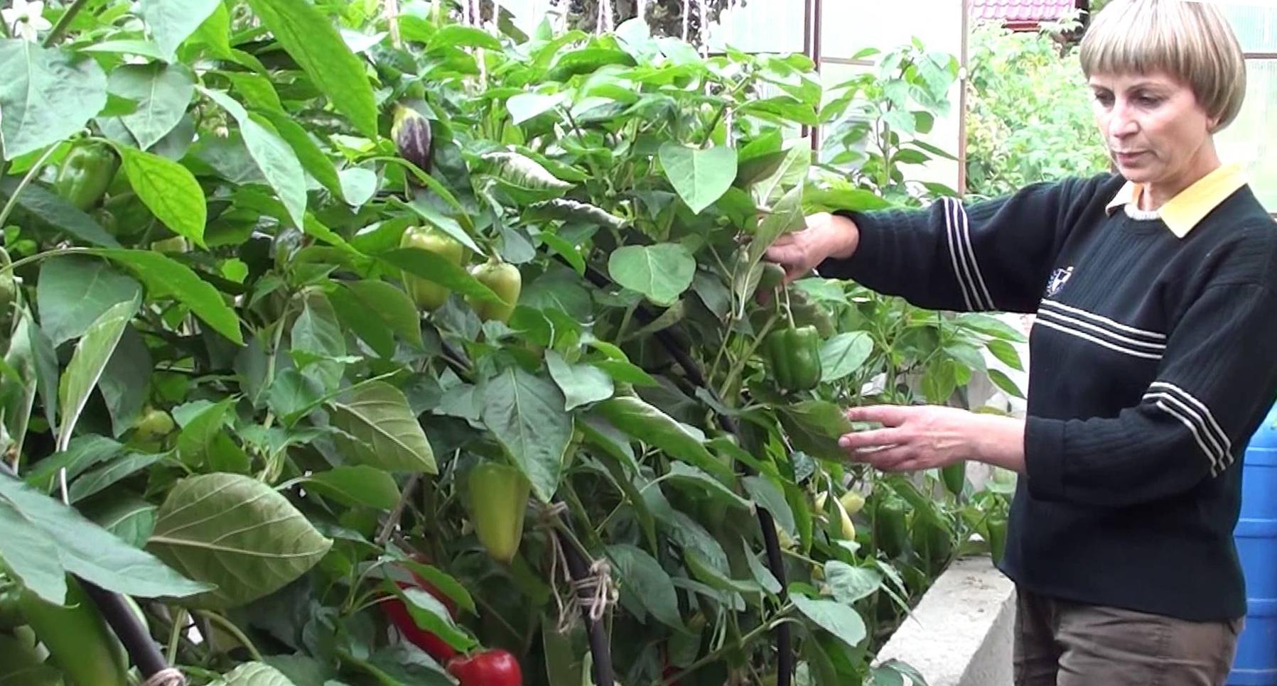 Формирование перца в теплице и открытом грунте: пошаговая инструкция