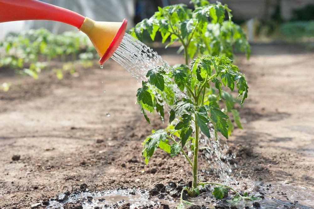 Как часто поливать помидоры в открытом грунте и теплице после посадки в жару