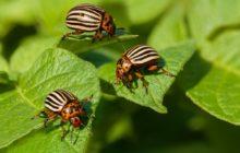 Колорадский жук: борьба с ним народными средствами - горчица, уксус