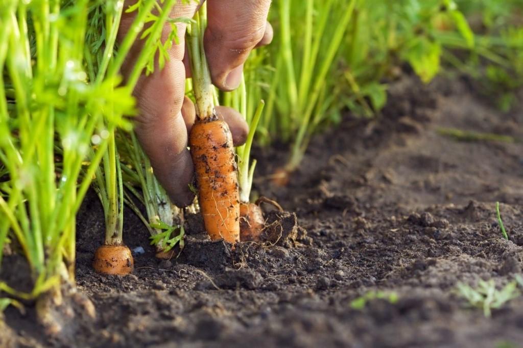Марганцовка для моркови: применение, отзывы