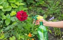 Чем обработать розы от тли и болезней: народными средствами