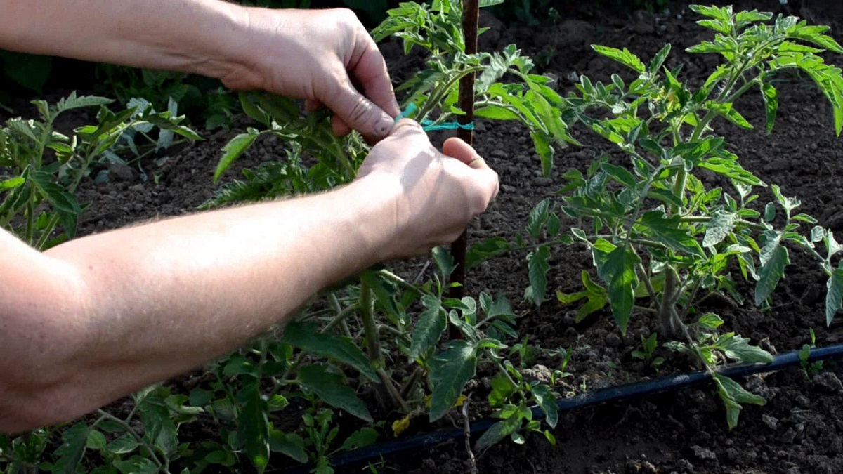 Как пасынковать помидоры в открытом грунте: пошаговое описание с фото