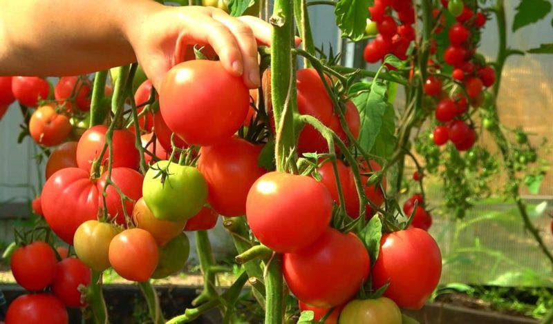 Чем подкормить помидоры для созревания плодов