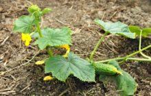 Как продлить плодоношение огурцов в теплице и открытом грунте в августе и сентябре