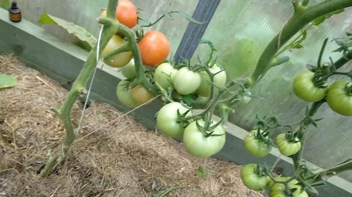 Как продлить плодоношение томатов в августе и сентябре в теплице и открытом грунте