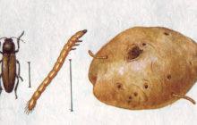 Проволочник на картошке: фото, описание, как избавиться и бороться