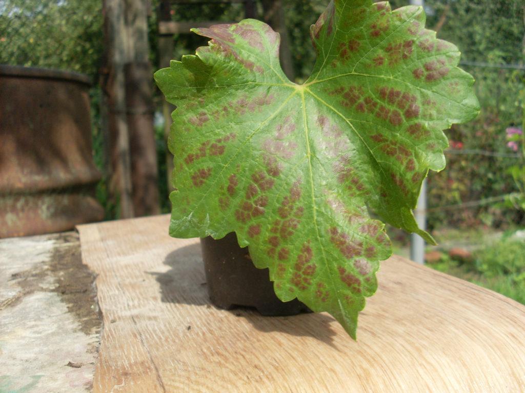 Пятна на листьях винограда: фото и чем лечить, что делать