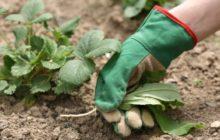 Уход за клубникой после сбора урожая в июле: пошаговые действия
