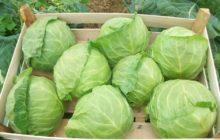 Секреты выращивания здоровой капусты в огороде