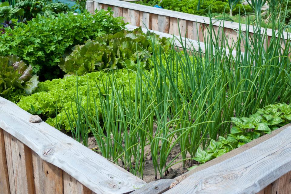Идеи выращивания зелени в огороде, что посадить на грядках