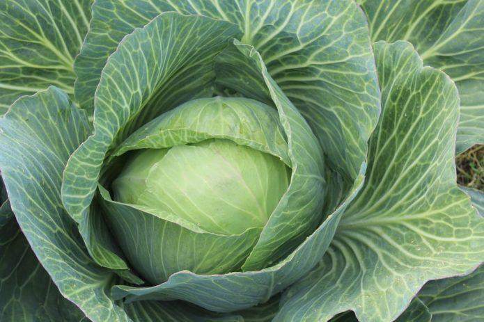 Проверенные секреты здоровой капусты